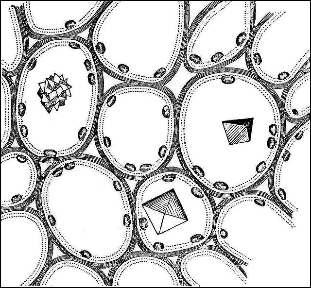 PSM_V21_D307_Cross_section_of_petiole_with_crystals_in_the_cells